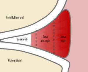 Vascularizarea meniscului